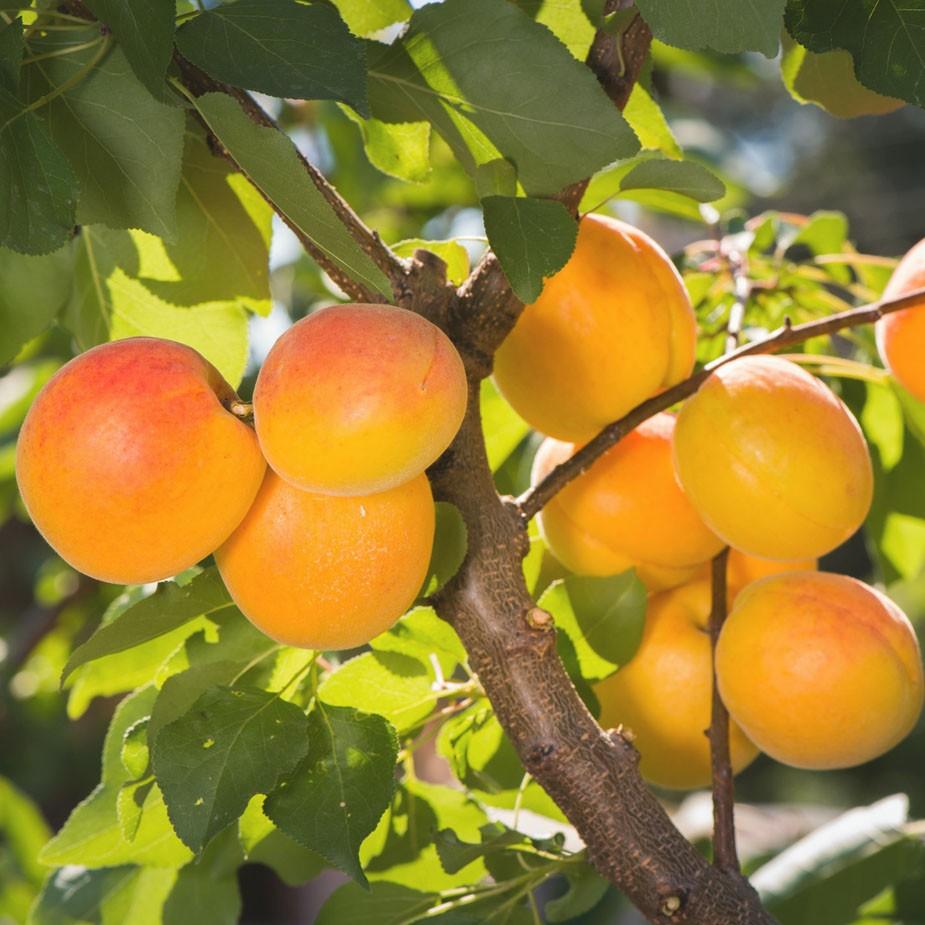 "Абрикос ""Айсберг"" Prunus armeniaca"
