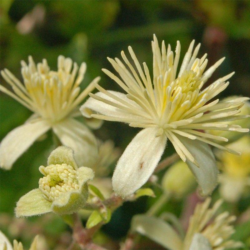 Высота 4 м. Сорт с женскими цветками. Цветки белые, с легким лимонным ароматом, распускаются в мае-июне. Плоды созревают в августе-сентябре. Плоды крупные, овальной формы, тёмно-зелёные со светлыми полосками. Поверхность ягод гладкая. Вкус сладкий, с ананасным ароматом.