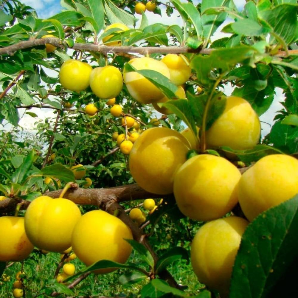 Prunus rossica
