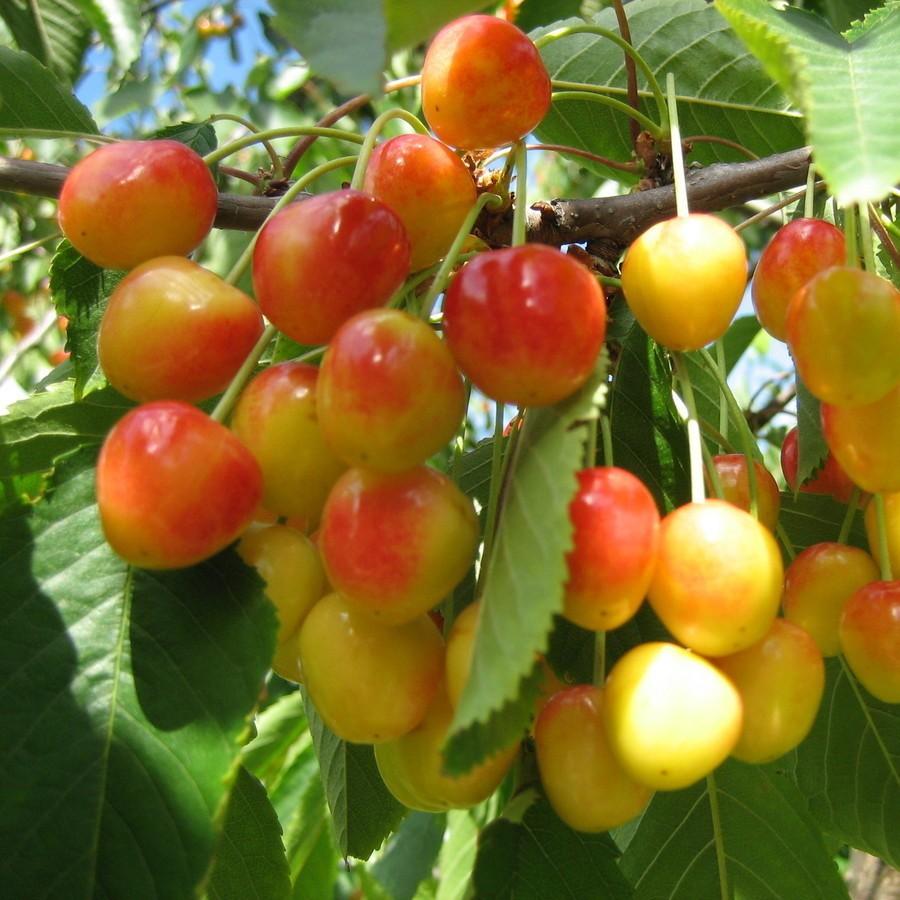 """Черешня """"Фатеж"""" Prunus avium"""