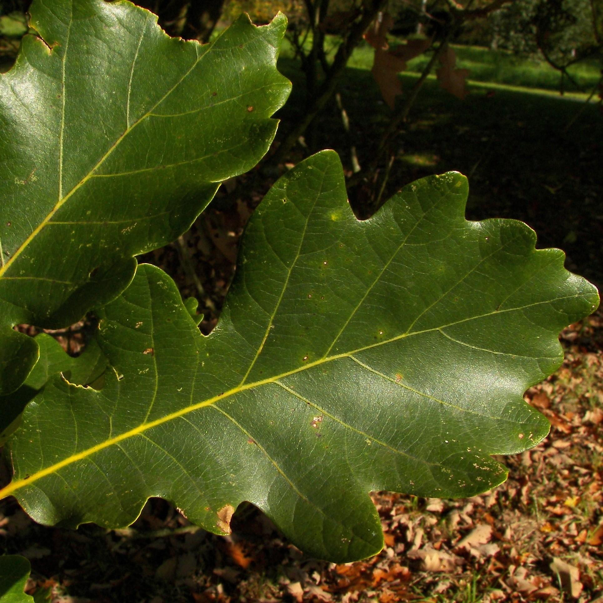 Дуб двухцветный Quercus bicolor