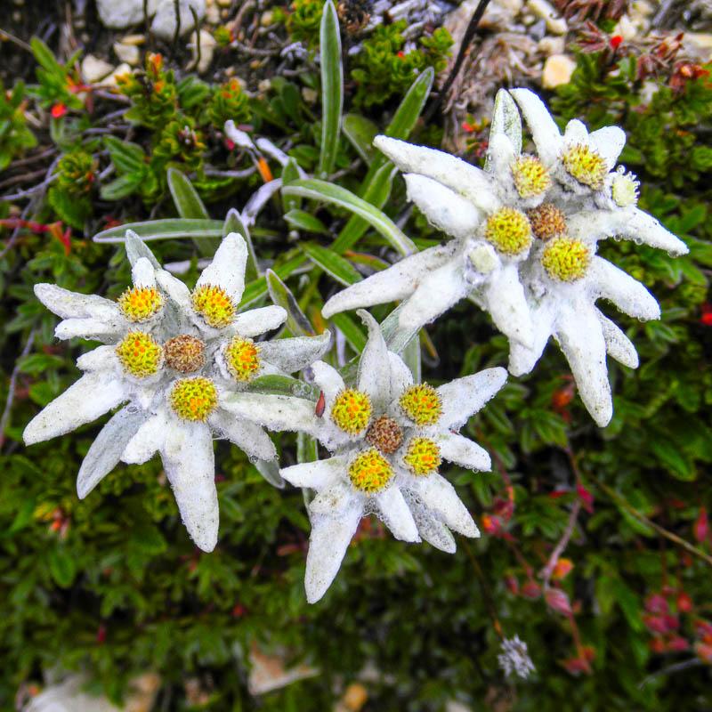 Эдельвейс альпийский Leontopodium alpinum