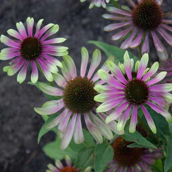 "Эхинацея пурпурная ""Грин Твистер"" Echinacea purpurea ""Green Twister"""