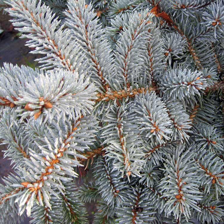 Ель колючая Picea pungens