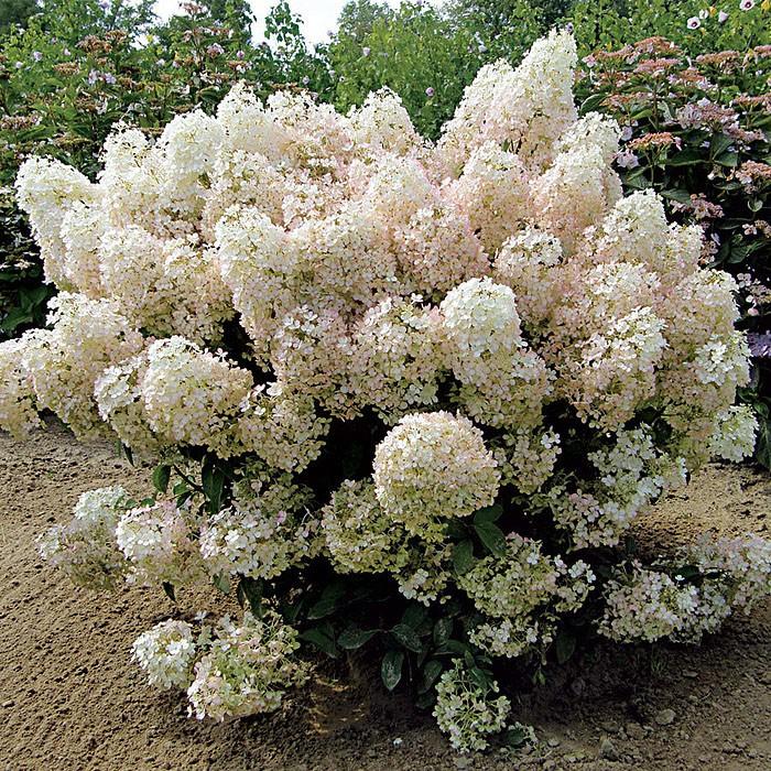 "Гортензия метельчатая ""БоБо"" Hydrangea paniculata 'BoBo'"