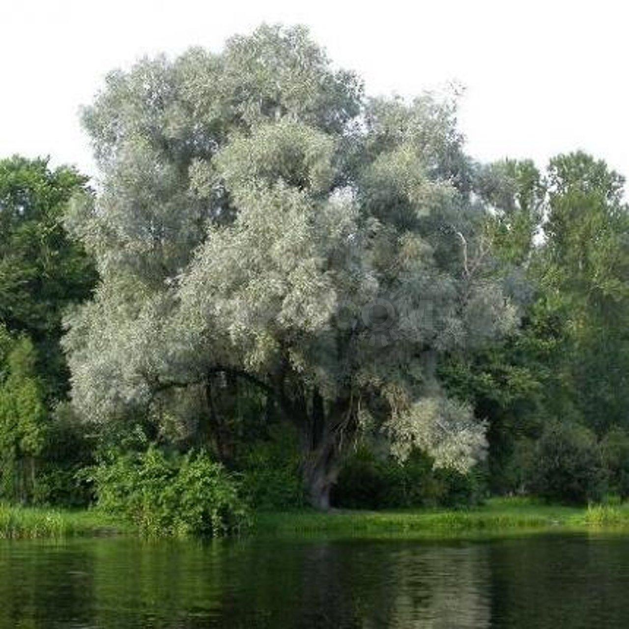 Salix alba var. argentea