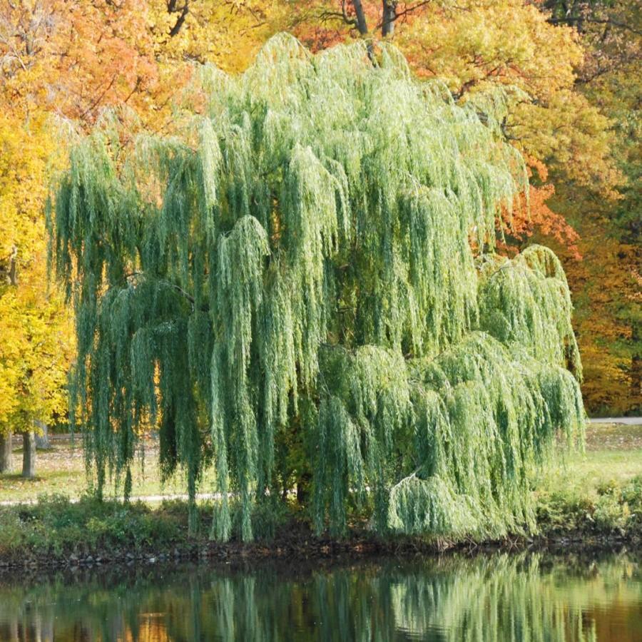 "Salix ""Unikalnaja"""