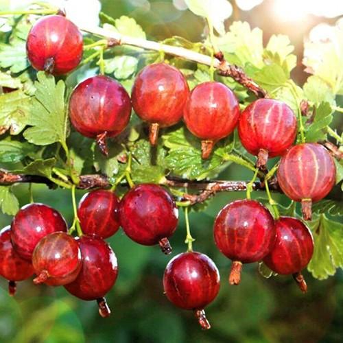 """Крыжовник """"Колобок"""" Ribes uva-crispa"""