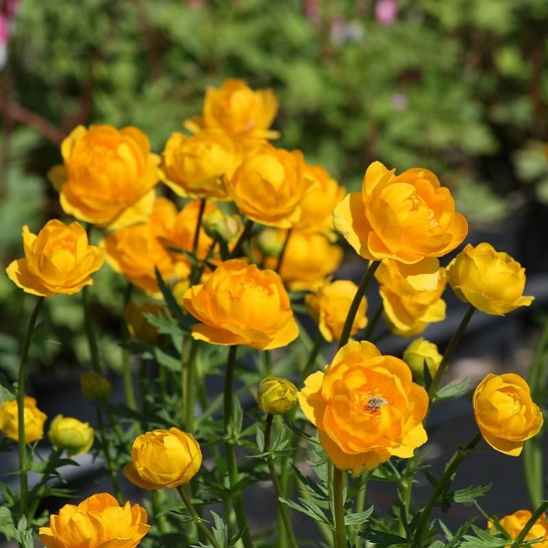 Высота до 70 см. Плотный куст с красивыми пальчато-раздельными листьями на длинных черешках. Цветки крупные, насыщенно-желтые с длинными тычинками и узкими, вертикально стоящими лепестками в центре. Цветет в июне-июле. Для солнечных и полутенистых мест с дренированными, плодородными, увлажненными, суглинистыми почвами.