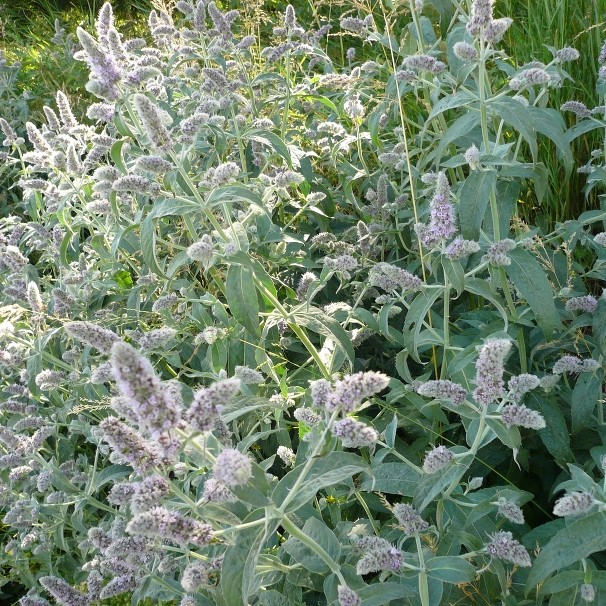 "Мята длиннолистная ""Сильвер Форм"" Mentha longifolia ""Silver Form"""