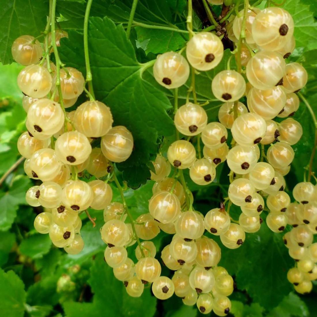 """Смородина """"Голландская белая"""" Ribes rubrum"""