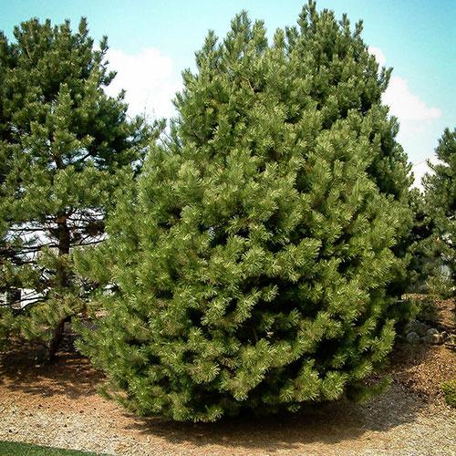 Сосна черная австрийская Pinus nigra var. austriaca