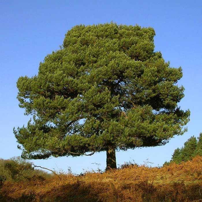 Сосна обыкновенная Pinus sylvestris