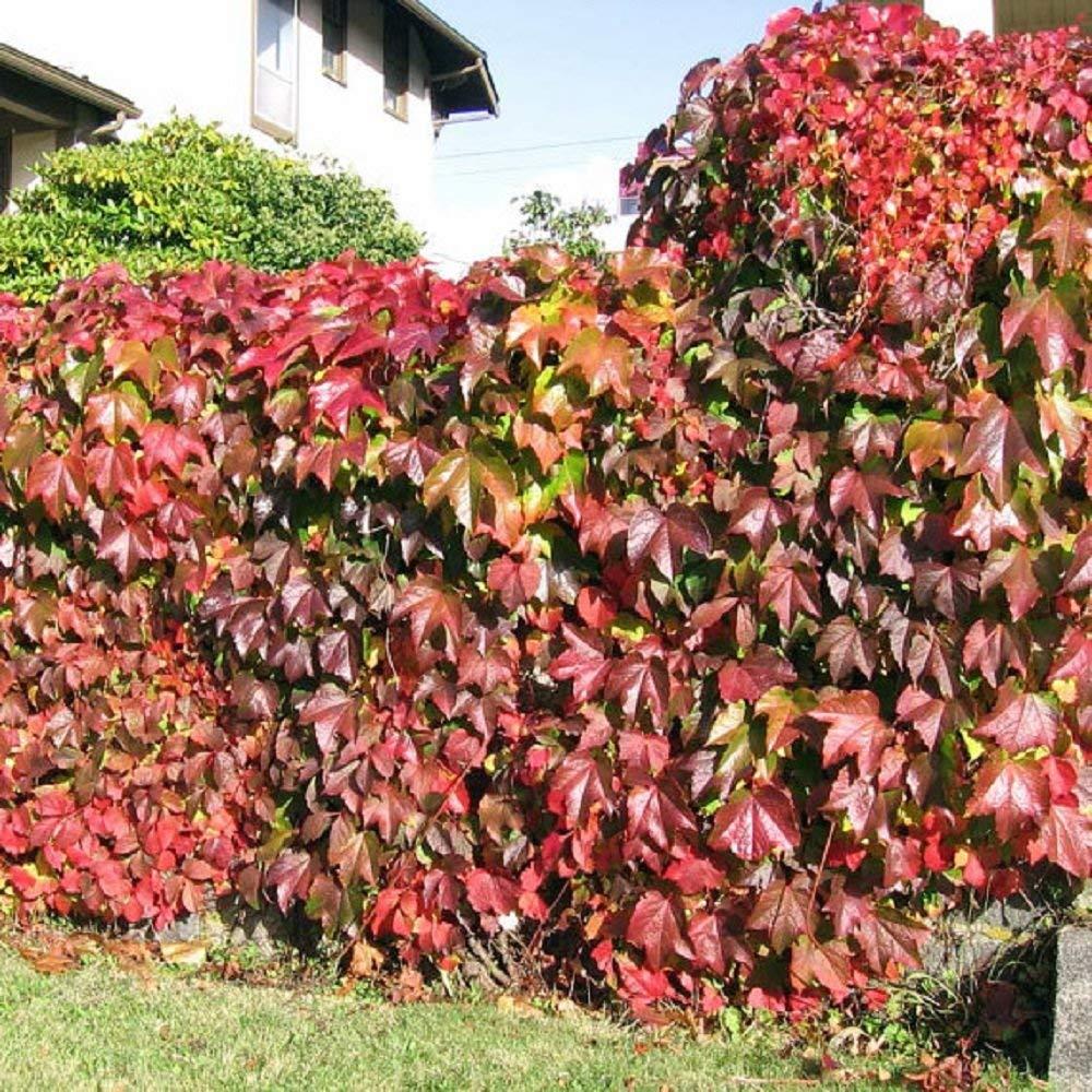Виноград девичий Parthenocissus quinquefolia