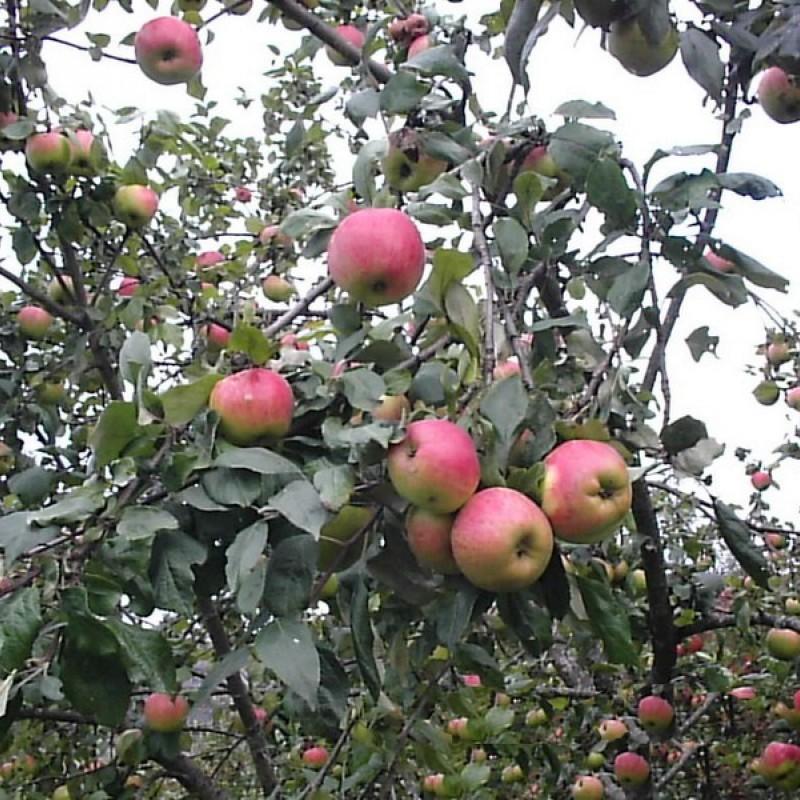 """Яблоня """"Осеннее полосатое"""""""